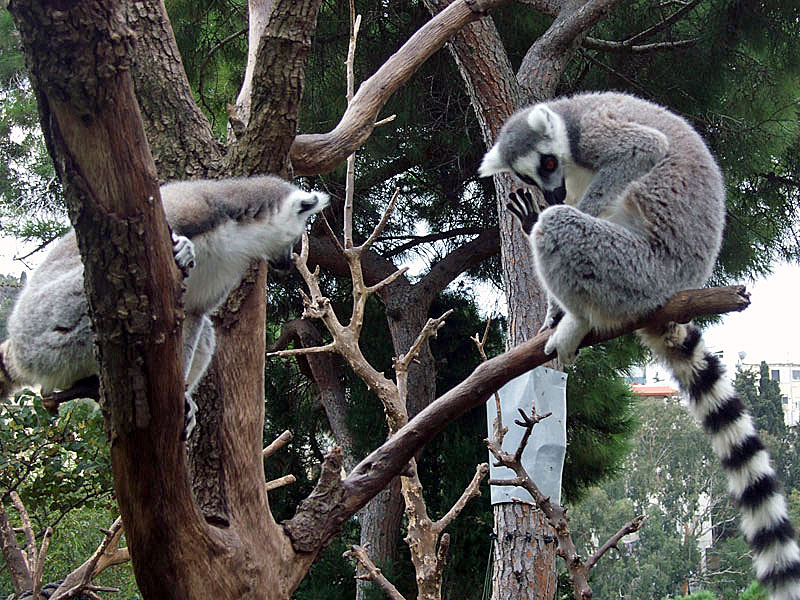 Native Lemurs in the Western Galilee
