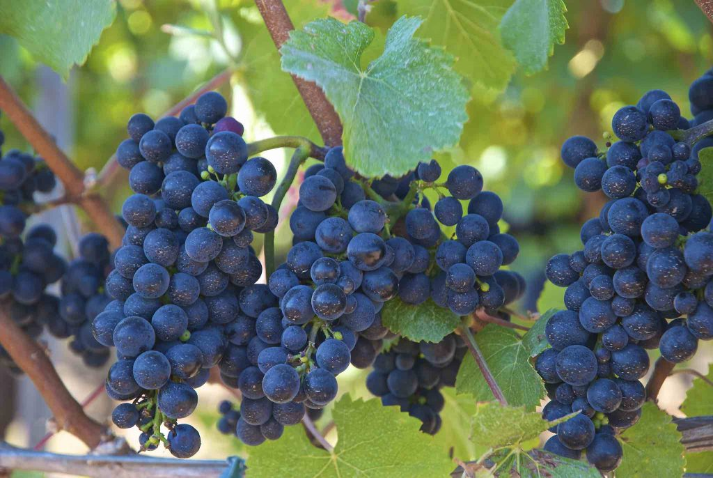 Wine Grapes on the Vine by Wplynn